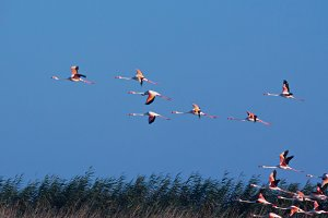 Birds. Flamingos in flight 1