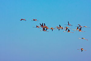 Birds. Flamingos in flight 2.