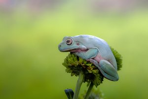 frog, tree frog, dumpy frog,