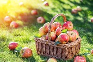 Apple harvest. Ripe red apples.