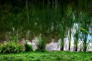 Green reed grass at the water