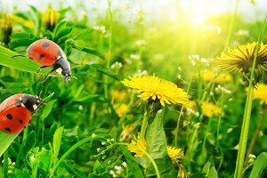 Ladybug on background of grass