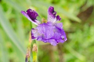Iris flower of violet color.