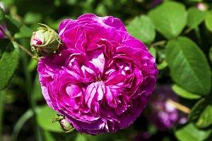 fringed pink rose