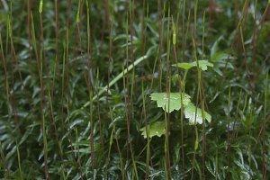 Moss (Atrichum undulatum)