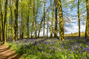 First Bluebells of Spring