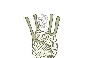 Illustration of a fennel