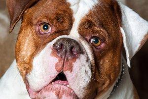 Red American Bulldog portrait