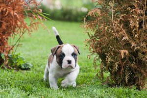 cute red American Bulldog puppy