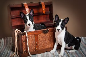 Basenji puppies dogs