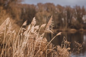 Reed Grass in Winter with Lake