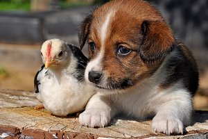 Puppy and chicken for easter