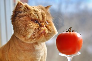 Funny cat and red tomato