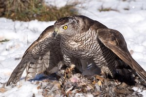 Peregrine falcon hunting partridge