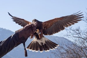 Harris hawk in a falconry exhibition