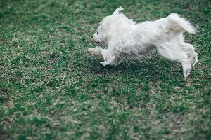 Сute white dog running outdoors