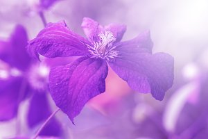 Clematis violet in the sunlight.