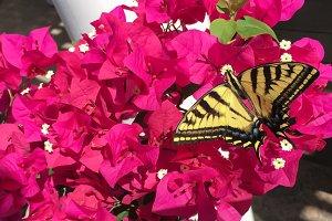 Beautiful Butterfly on Bougainvillea
