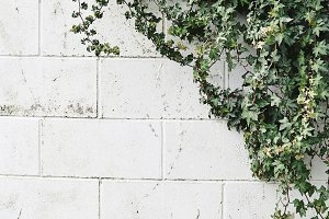 Ivy Growing on Brick Wall Photo