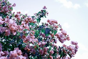 Bougainvillea Backgrounds and Header