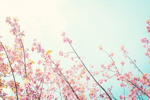 Beautiful Himalayan blossom