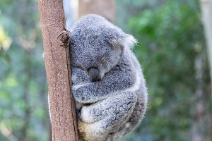 Sleepy Koala Bear