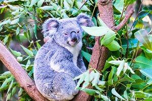 Koala Bear Stare