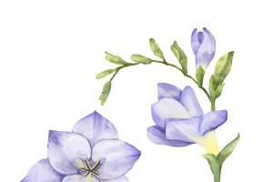 Illustration of Freesia flower