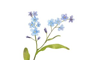 Illustration of Forget me not