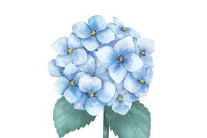 Illustration of Hydrangea flower