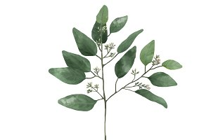 Illustration of Eucalyptus