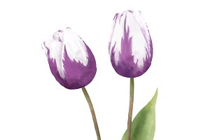 Illustration of Tulip flower