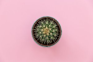 Cactus plant in pot pink background