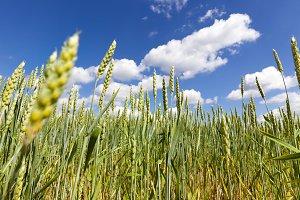 green ear of wheat