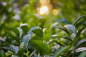 tea plantation leaf