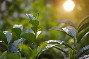 Close up tea plantation leaf and fuz