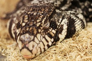 Black and white tegu sleeping