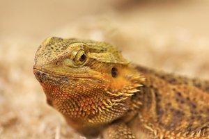 Best portrait of Bearded Dragon