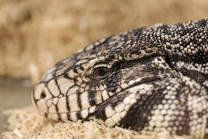 Big adult tegu, close-up portrait.