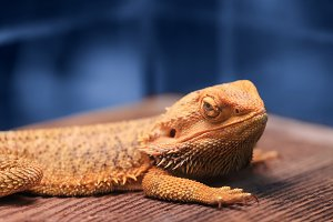 Great reptile - bearded dragon