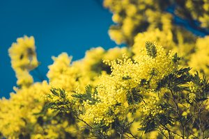 Yellow blooming of mimosa tree