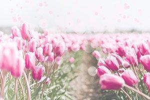 Pink tulips field