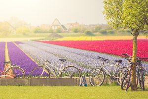 Cycling tour to blooming fields