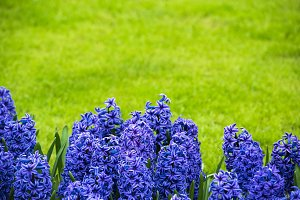 Bright purple hyacinths