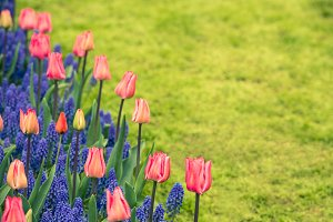 Pink tulips and Muscari hyacinths