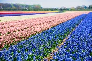 Hyacinths field
