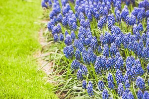 Blue Muscari hyacinth field