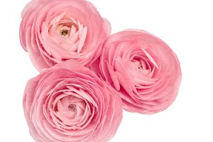 Pink ranunculus Flower head