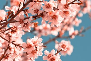 Pink Flowers Blooming Tree
