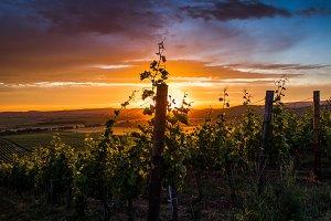 Sunset on vineyard plantation